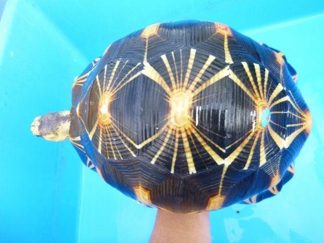 画像1: ホウシャガメ(登録票付)        Lot.705